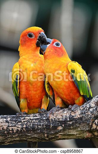 Sun Conure Parrot - csp8958867