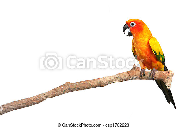 Sun Conure Parrot Screaming on a Branch - csp1702223