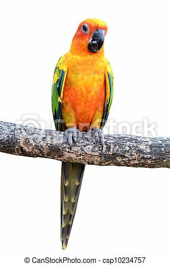 Sun Conure Parrot - csp10234757