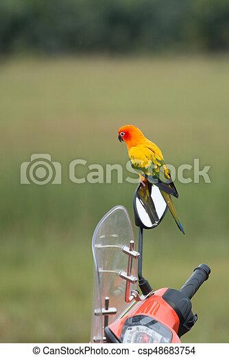 Sun conure Parrot - csp48683754