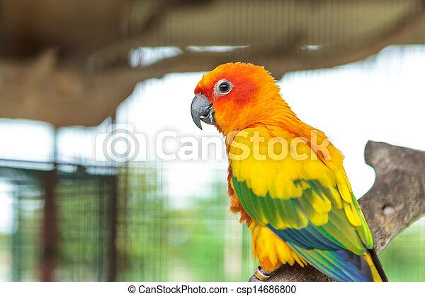 Sun conure parrot - csp14686800