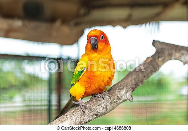Sun conure parrot - csp14686808