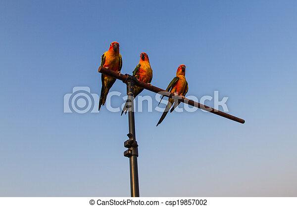 Sun Conure Parrot - csp19857002