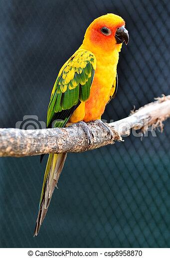 Sun Conure Parrot - csp8958870