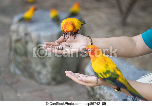 Sun Conure Parrots Beautiful Parrot eats food on hand man - csp86742109