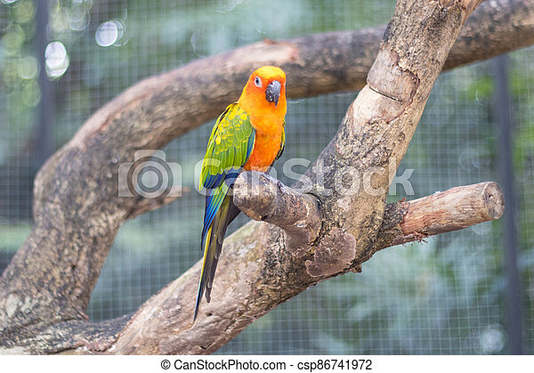 Sun Conure Parrots Beautiful Parrot on branch of tree - csp86741972