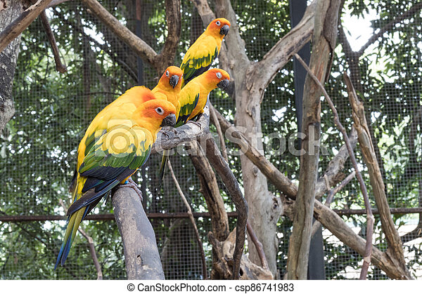 Sun Conure Parrots Beautiful Parrot on branch of tree - csp86741983