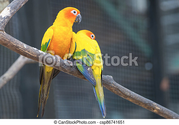 Sun Conure Parrots Beautiful Parrot on branch of tree - csp86741651