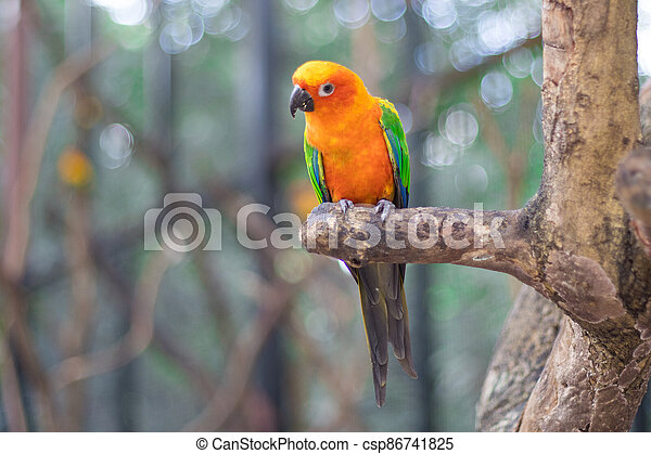 Sun Conure Parrots Beautiful Parrot on branch of tree - csp86741825