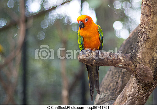 Sun Conure Parrots Beautiful Parrot on branch of tree - csp86741791