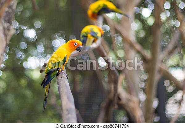 Sun Conure Parrots Beautiful Parrot on branch of tree - csp86741734