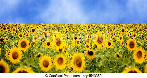 sun flower field - csp4543350
