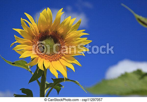 Sun Flower - csp11297057