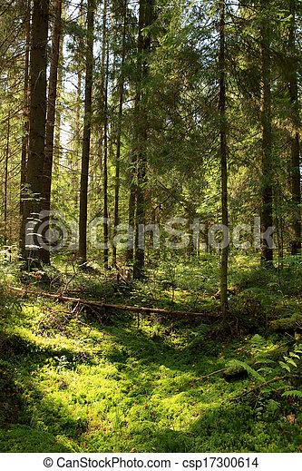 Sun light in the coniferous forest. Valday, Novgorod region, Russia. - csp17300614
