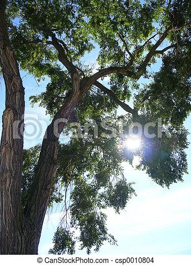 Sun Through Tree - csp0010804