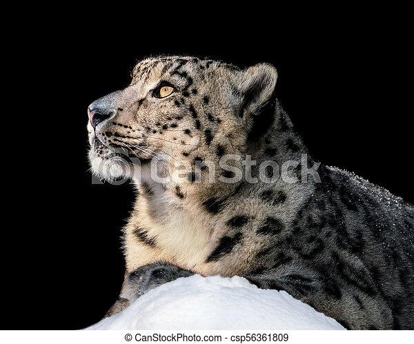 Sunbathing Snow Leopard II - csp56361809