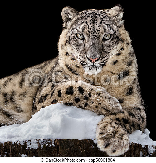 Sunbathing Snow Leopard IV - csp56361804