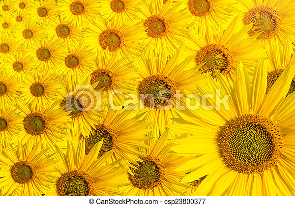Sunflower Background Text Space