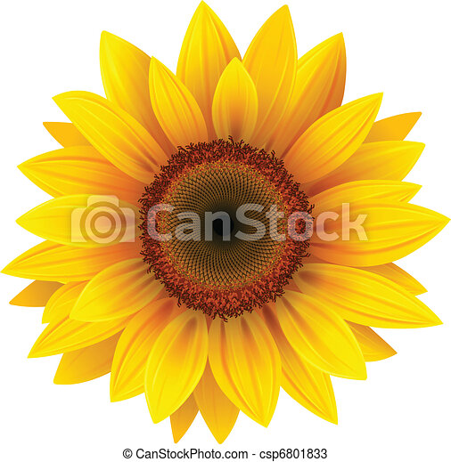 sunflower - csp6801833