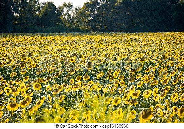 Sunflower field during bright summer day - csp16160360