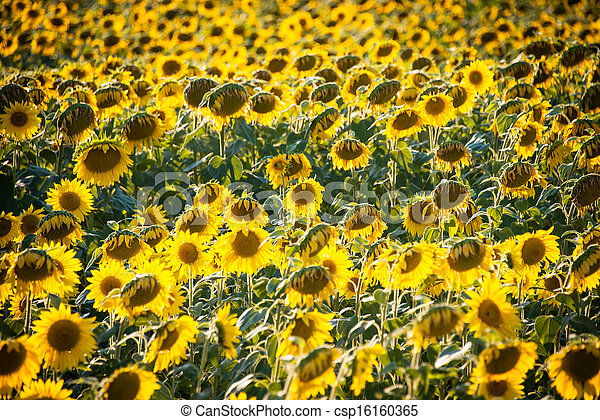 Sunflower field during bright summer day - csp16160365