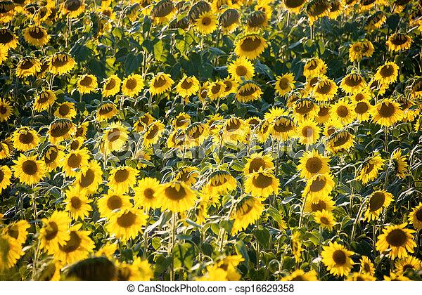 Sunflower field during bright summer day - csp16629358