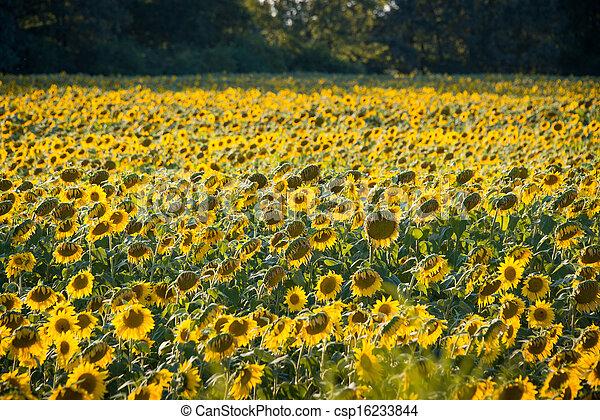 Sunflower field during bright summer day - csp16233844