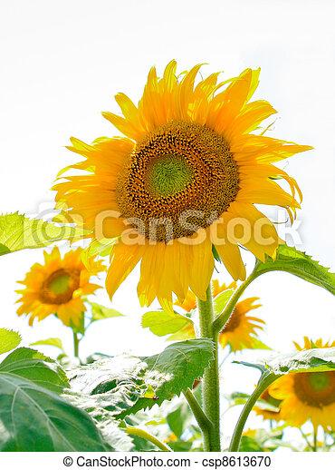 sunflower field in Alsace, France - csp8613670