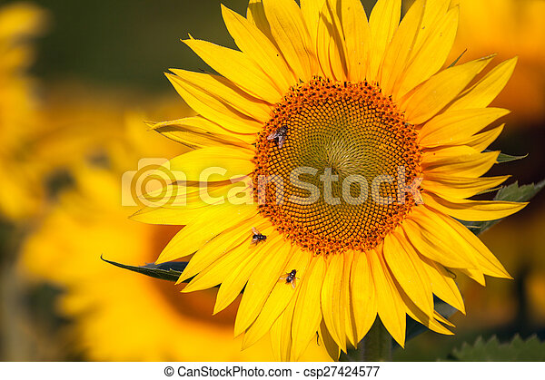 Sunflower field in summer - csp27424577