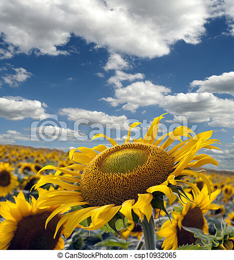 Sunflower field in the sunny day - csp10932065