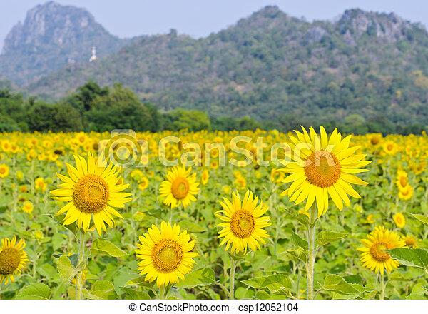 Sunflower field - csp12052104