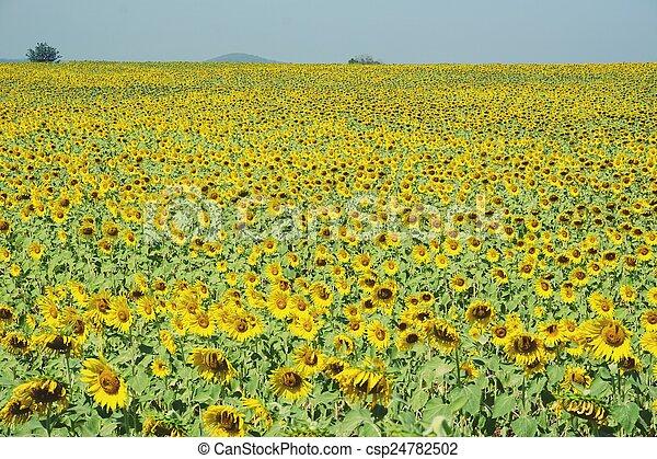 sunflower field - csp24782502