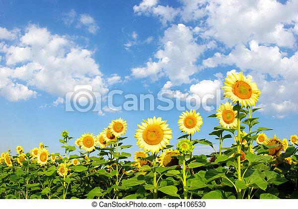 sunflower field  - csp4106530