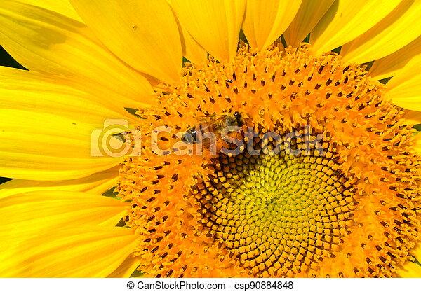 Sunflower Honey - csp90884848