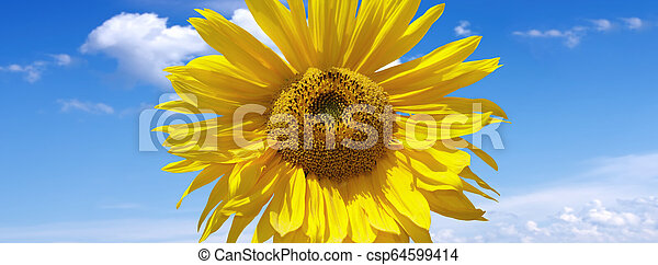 Sunflower on a background of blue sky - csp64599414