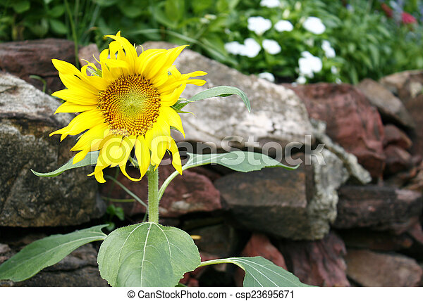Sunflower on a background of stone wall - csp23695671