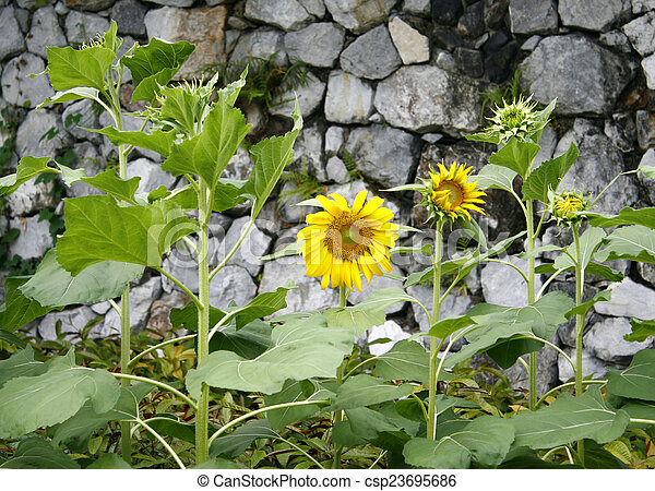 Sunflower on a background of stone wall - csp23695686