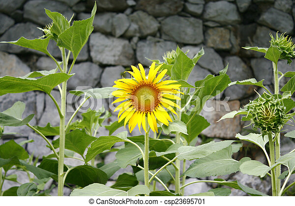 Sunflower on a background of stone wall - csp23695701