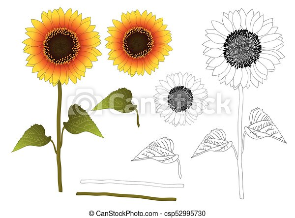 Sunflower Line Drawing : Sunflower outline. or helianthus vector
