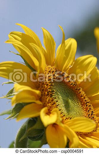 Sunflower - csp0004591