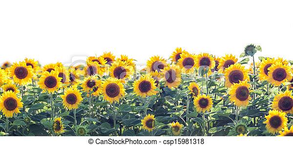 sunflower - csp15981318