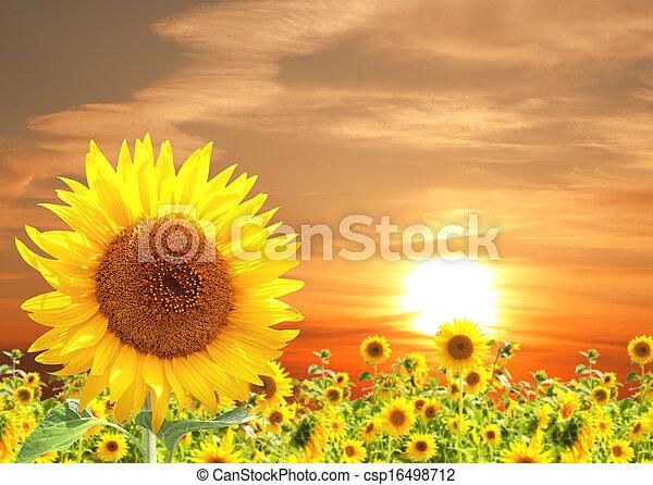 Sunflower - csp16498712