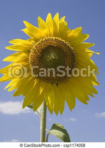 Sunflower - csp1174058