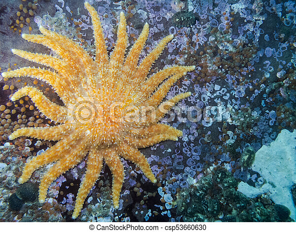 Sunflower Star (Pycnopodia helianthoides) - csp53660630