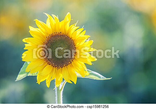sunflower - csp15981256
