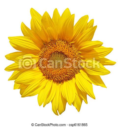 Sunflower - csp6161865