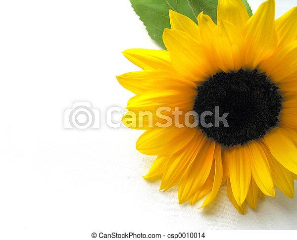 Sunflower - csp0010014