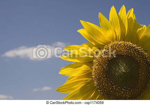 Sunflower - csp1174059