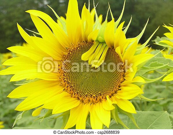 Sunflower. - csp2688839