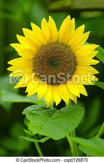 Sunflower - csp0126870